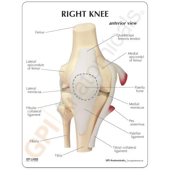 basic-knee-anatomy - GPI Anatomicals
