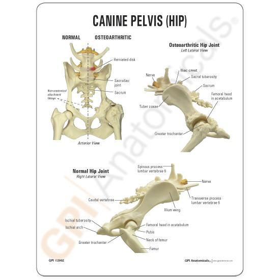 canine pelvis model 3 gpi anatomicals Dog Muscle Anatomy Diagram