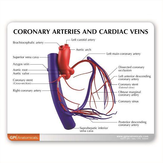 Coronary Arteries Coronary Veins Model 2575