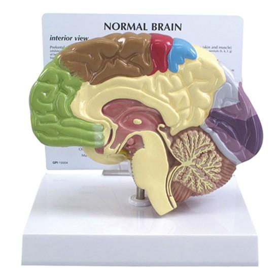 Brain Models (2)