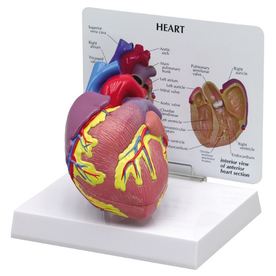 Cardiovascular Models (7)