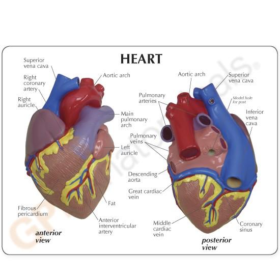 Heart - Model #2500 - GPI Anatomicals