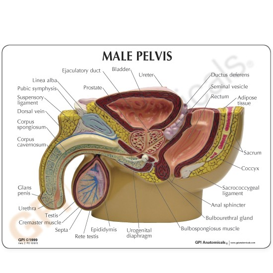 Male Pelvis Testicles Model 4 Gpi Anatomicals