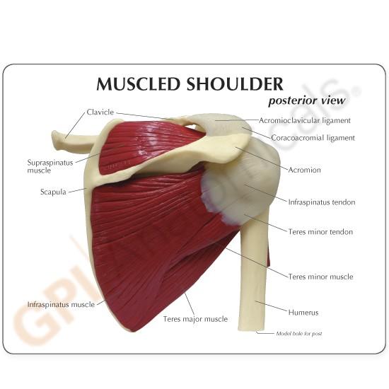 Shoulder Model