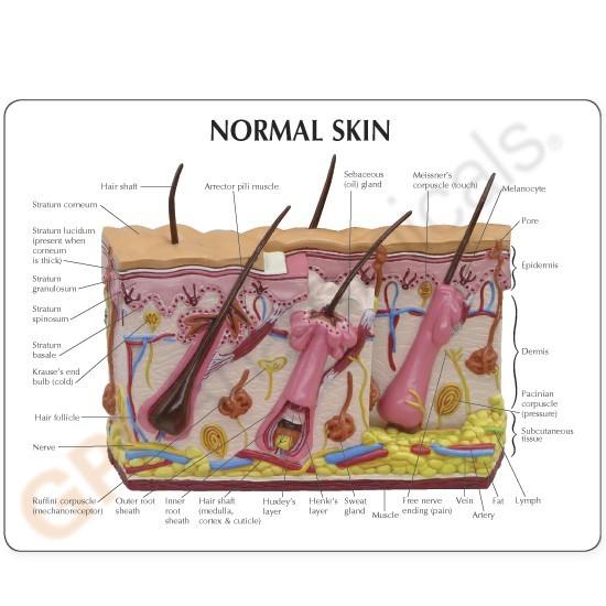 Aging Skin And Hair Loss Model