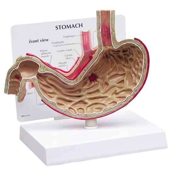 Digestive Models (12)